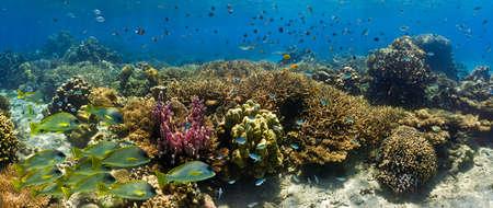damselfish: Shoal of fish on the coral reef - panorama Stock Photo