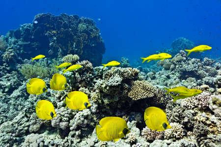 goatfish: Shoal of butterflyfish and Yellowsaddle Goatfishfish on the coral reef