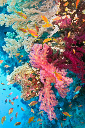anthias fish: Shoal of anthias fish on the soft coral reef