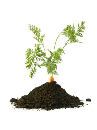 bugs bunny: Carrot growing in a pile of soil