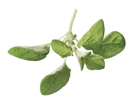 wild marjoram: Oregano isolated on a white background