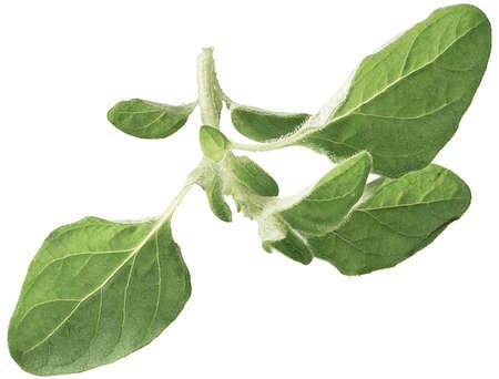 oregano plant: Twig of oregano isolated on white