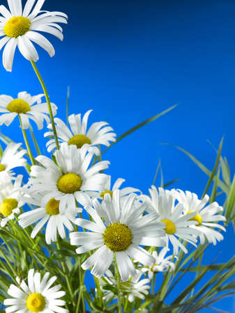 White Daisy Wheels in front of a deep blue sky Stock Photo