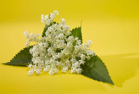 elder tree: Elderberry  A white blossom on a yellow surface Stock Photo