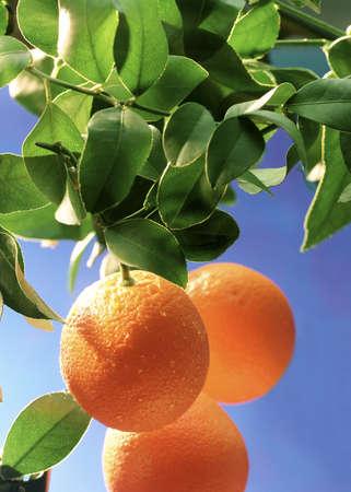 ripe oranges on a orange tree