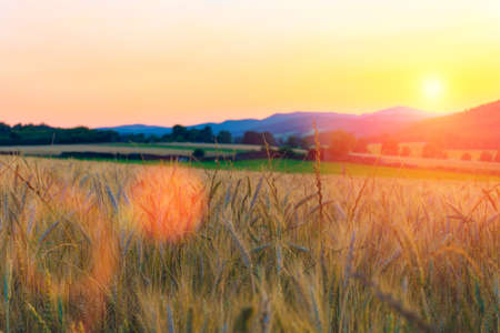 Wheat field in the mountains at sunset