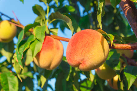 Peaches growing on a tree Stock Photo