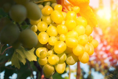 Grapes on a plantation