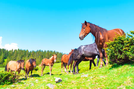 horses in a meadow in mountains