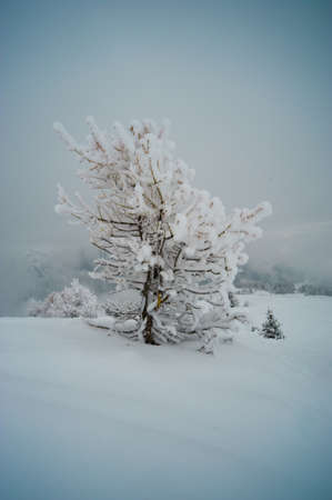 Small mountain tree in snow in the French Alps photo