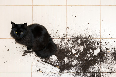 Black cat dropped and broke flower pot with green plant on the kitchen floor with dirt all over tiles. Concept of damage from pets