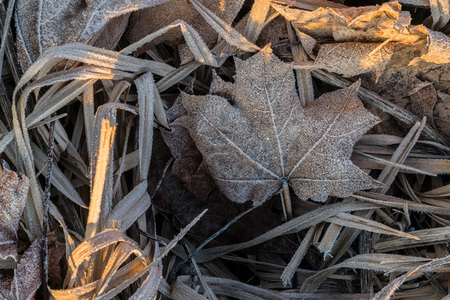 Close up of frozen hoarfrost maple leaf among frosty grass, leafs and other plants on early cold morning side lit by sun light 免版税图像
