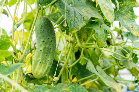 Growing cucumber with flower and tendrils in the green house. Growing vegetables