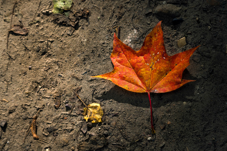 Maple leaf in autumn on the ground, back lit by sun