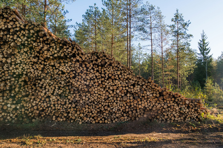 Area of illegal deforestation of vegetation in the forest. Cut the tree and wooden trunks from the forest. A pile of cut wood near the forest. Concept of forest felling, wood problem, ecology,