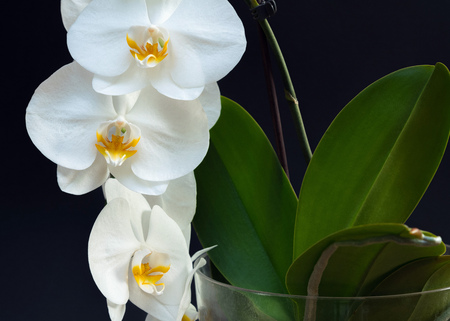 Beautiful white orchid flowers with plant base on a black background Stock fotó