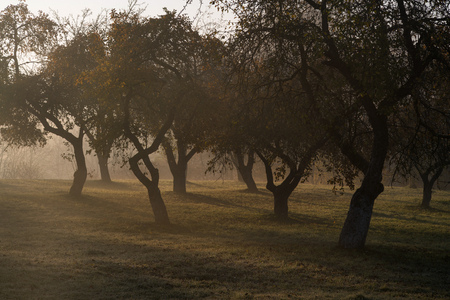 Apple tree plants on a foggy morning in the garden. Golden sunlight in background