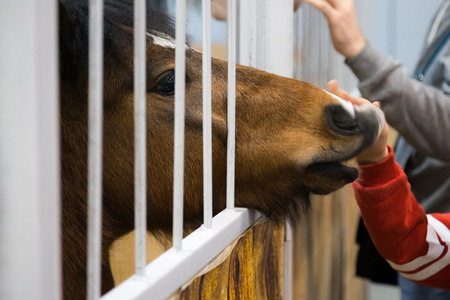 Kids hand stroking brown horse in the stable. Pedigree horse in his aviary. Horse through the cage Banco de Imagens - 117201805