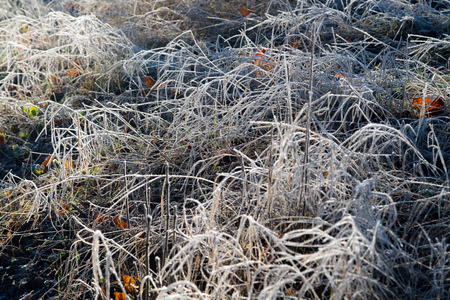 Early morning frozen hoarfrost grass in early autumn morning. Frosty plants in the garden, approaching winter time