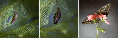 Butterfly metamorphosis sequence from egg, larva, pupa to adult butterfly