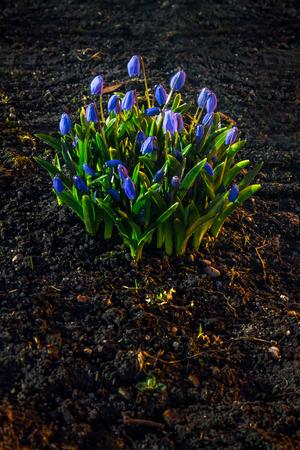Hepatica flowers in the soil on dark background 免版税图像