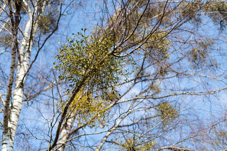 Many hemiparasitic shrubs of mistletoe on tree branches. Common European mistletoe (Viscum album) growing on the branches of birch tree isolated on blue sky on a sunny day Stock Photo
