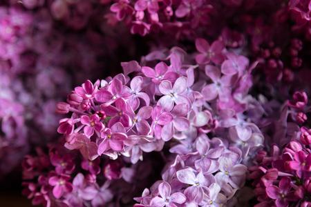 Lilac flowers - syringa vulgaris, beautiful violet - pink blossoms flower plant. Purple Eurasian shrub of the olive family