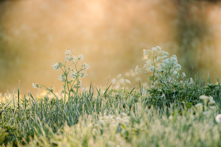 Beautiful flower with white blossom in the grass back lit by golden morning sun light and fog in the background