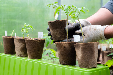Male farmer holding organic pot with tomato plant before planting in into the soil. Man prepares to plant little tomato plant into ground Stock Photo - 124898798