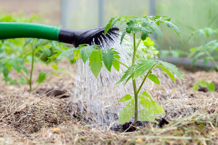Plastic sprinkling can or funnel watering tomato plant in the greenhouse. Organic home grown tomato plants without vegetables surrounded by mulch being watered Stock Photo - 124898800