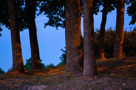 Lush linden tree trunk silhouette at blue hour side lit by street lights. Linden trees at night in public park