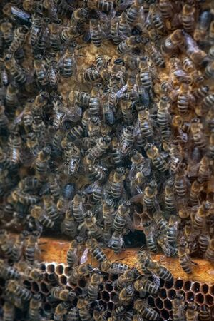 Thousands of bees on honeycombs with honey. Bees collecting nectar and putting into hexagonal cells after returning to beehive Banco de Imagens - 128823468