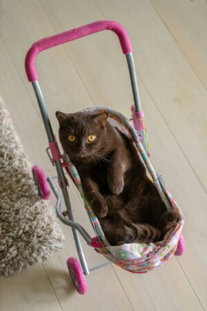 British Shorthair cat laying in colourful baby stroller indoors. Playful domestic cat sitting in a trolley inside