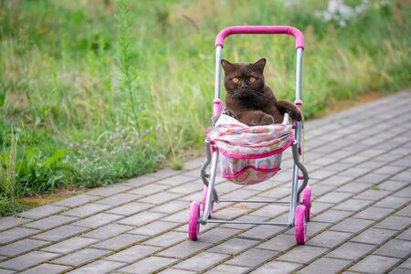 British Shorthair cat laying in colourful baby stroller outdoors. Playful domestic cat sitting in a trolley outside