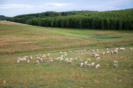 White sheep eating grass in the field by the forest. Domestic lamb outdoors in the valley. Animal farm. Farmer growing sheep for meat and wool