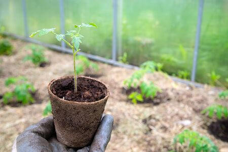 Male farmer holding organic pot with tomato plant before planting in into the soil. Man prepares to plant little tomato plant into ground