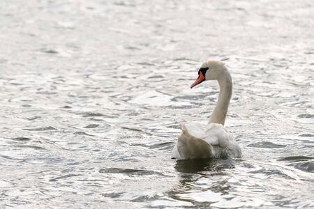 White swan swimming and looking for food under water in the lake. Beautiful wild swan bird floating on the water surface and feeding