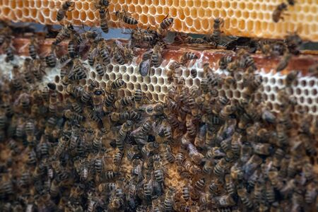 Thousands of bees on honeycombs with honey. Bees collecting nectar and putting into hexagonal cells after returning to beehive