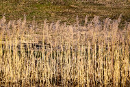 Overgrown bulrush plants on the water shore. Dry bulrushes background. Cattail plant