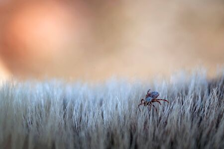 Close up of American dog tick crawling animal fur. These arachnids a most active in spring and can be careers of Lyme disease or encephalitis. Nobody