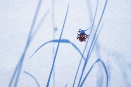Mature American dog tick crawling on white background. These arachnids a most active in spring and can be careers of Lyme disease or encephalitis