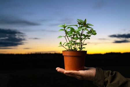 Man holding a pot with peppermint plant outside. Spearmint herb with sunset sky in the background and space for text