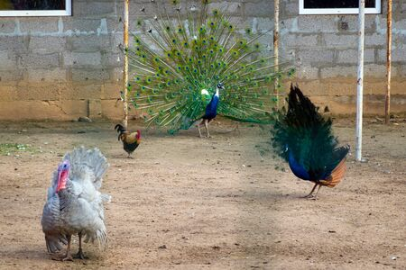 view of farm birds - chicken, peacock and turkey in aviary outdoors. Raising birds in a cage