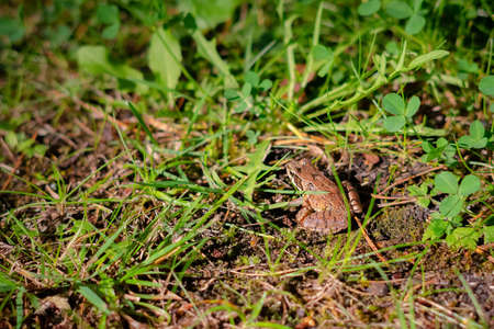 European brown frog in green grass background. Close up of wet frog