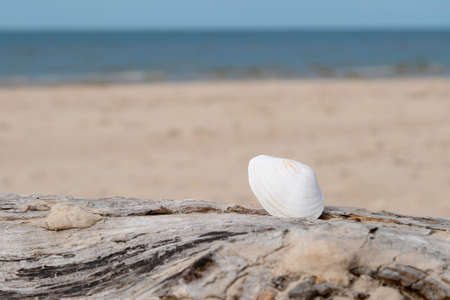 Beautiful white sea shell in the sand on a sunny day at the beach. Seashell laying on sandy background. Nobody.