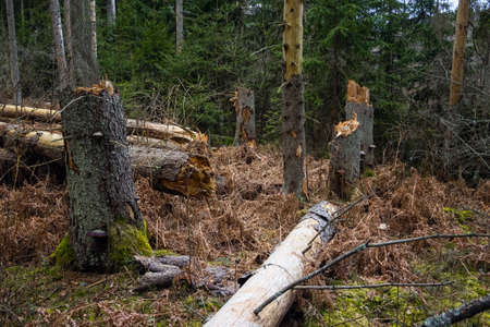 Broken tree trunks in the forest after storm. Fallen trees in the woods after hurricane 스톡 콘텐츠