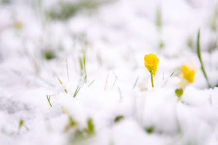 Yellow flower blooming in white snow on cold spring morning. Banco de Imagens