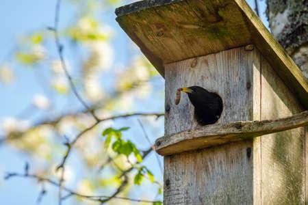 Starling bird ( Sturnus vulgaris ) bringing worm to the wooden nest box in the tree. Bird feeding kids in wooden bird house hanging on the birch tree outdoors Banco de Imagens