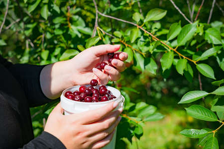 Close up of woman hands picking ripe cherries of the tree branch. Harvesting red cherry into a white plastic bucket at fruit farm in the summer time.