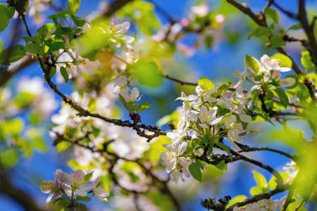 Tree branch with blossoms and blue sky in the background. White beautiful blossoms on the tree on sunny spring day.